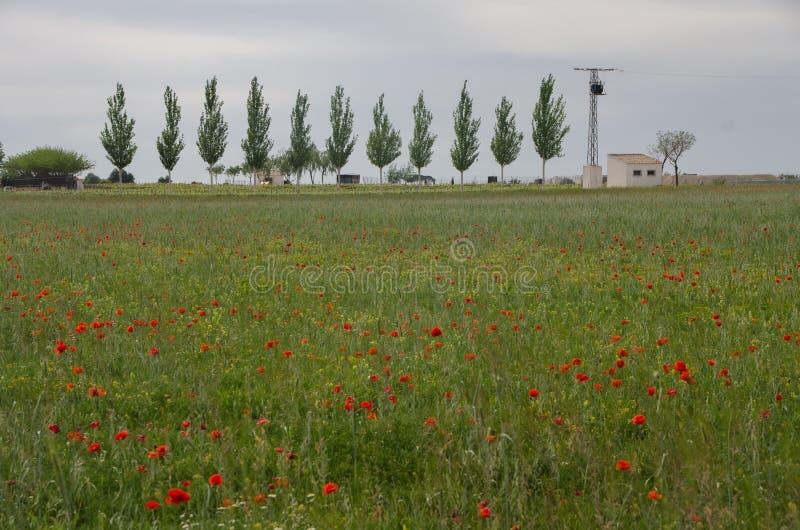 Veldlandschap met poppies stock fotografie