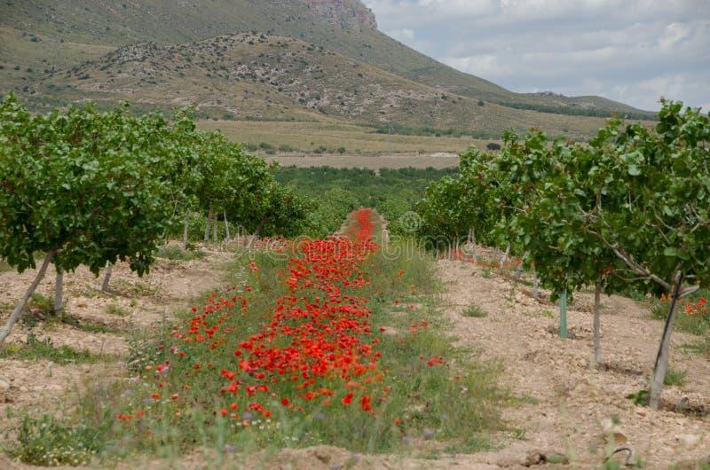 Veldlandschap met poppies royalty-vrije stock afbeeldingen