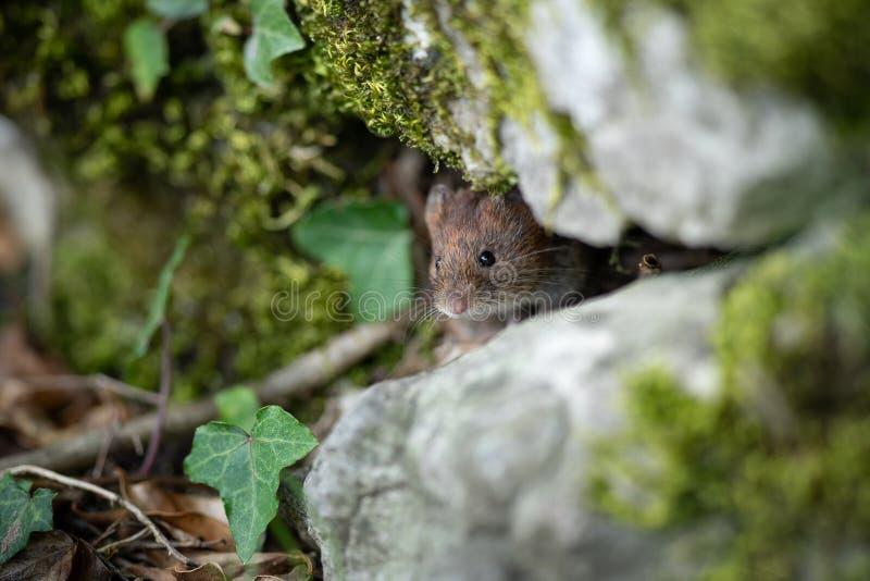 Veldmuis achter rots royalty-vrije stock foto