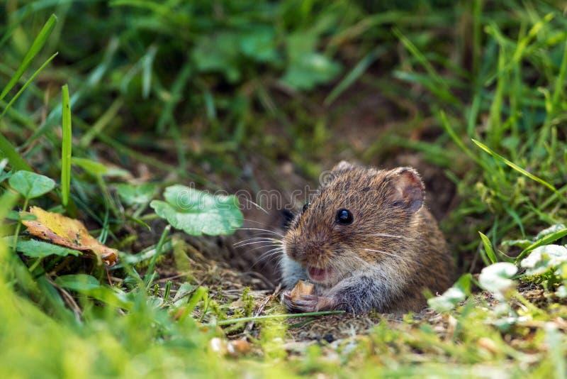 Veldmuis; Gemeenschappelijke Veldmuis; Microtusarvalis; stock foto