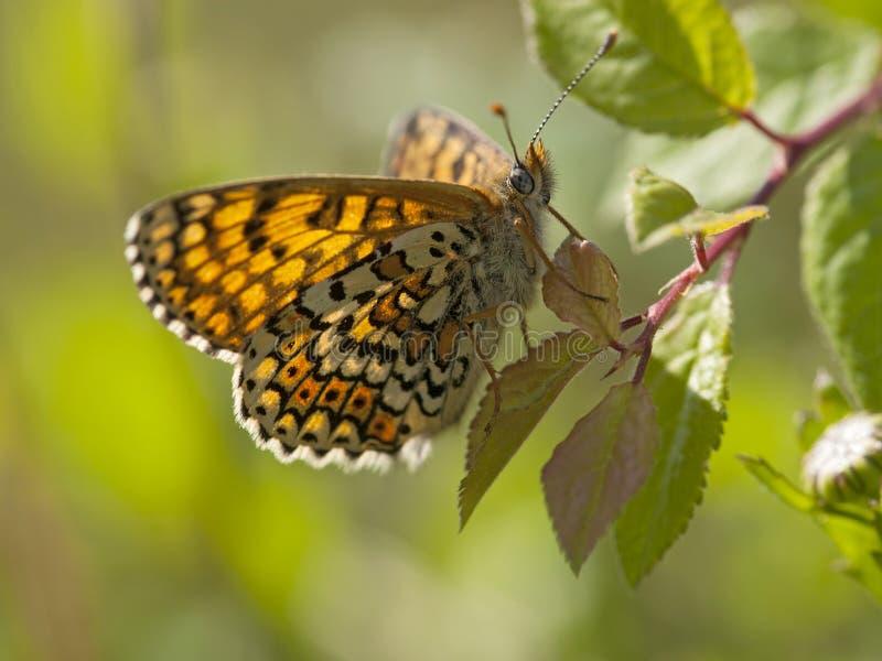 Veldparelmoervlinder, Glanville贝母, Melitaea cinxia,宝石 免版税库存照片