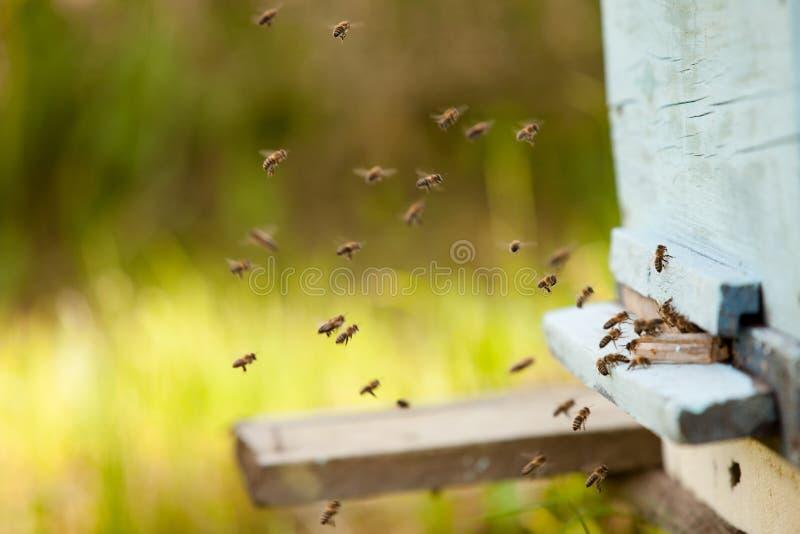 Vele bijen vliegen aan de bijenkorf, imkerij in het platteland bijenstal van bijen in de lente stock afbeelding