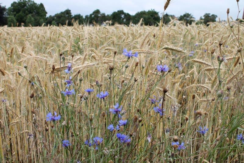 Vele blauwe bloemen op het gebied van tarwe royalty-vrije stock foto's
