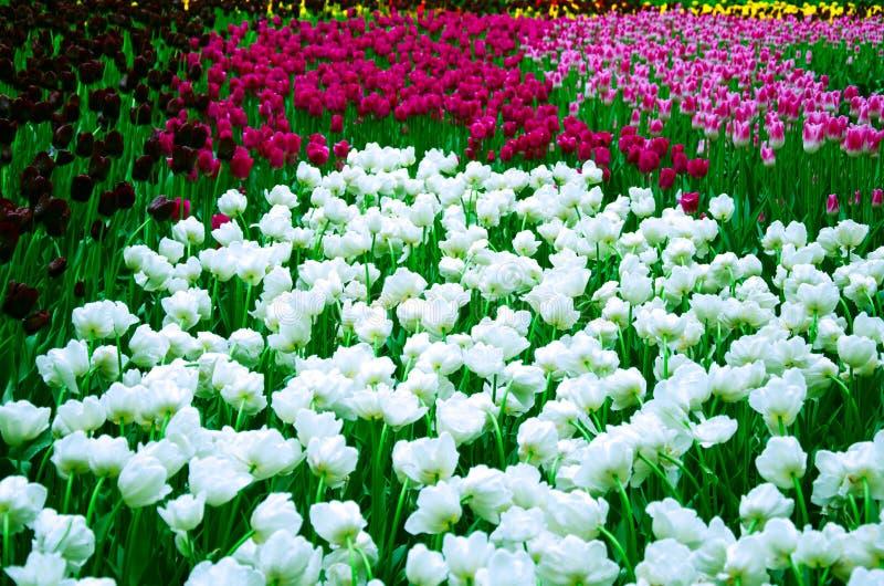 Vele bloeiende tulpen op een bloembed royalty-vrije stock fotografie