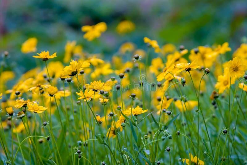 Vele de zomer gele wildflowers zoals madeliefjes op een groene achtergrond Selectieve nadruk stock foto's