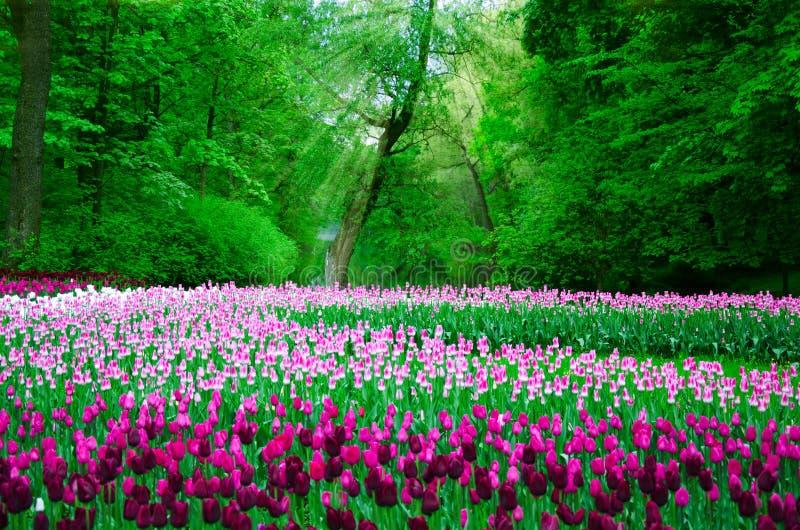 Vele die tulpen in het oude Park op een achtergrond van bos en zonnestralen worden geplant royalty-vrije stock afbeelding