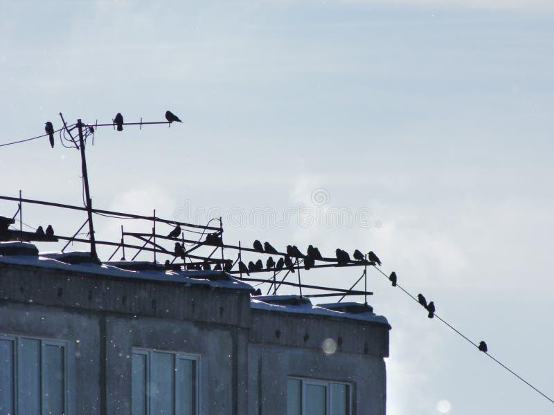 Vele die vogels, kauwen, kraaien in troepen op draden op het dak van een flatgebouw worden gezeten met meerdere verdiepingen stock foto