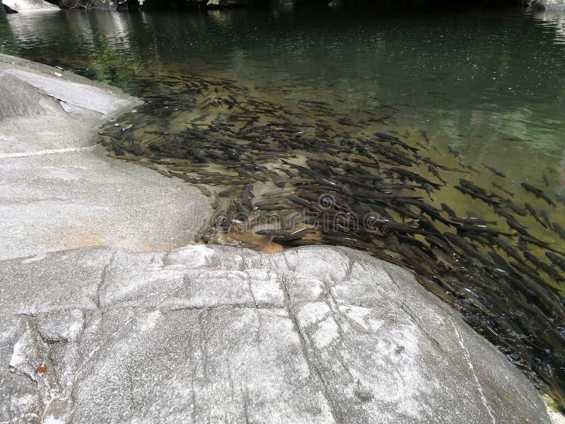 Vele donkere antimoniumvissen dichtbij de grote rotsen bij de watervallen in Thailand stock foto