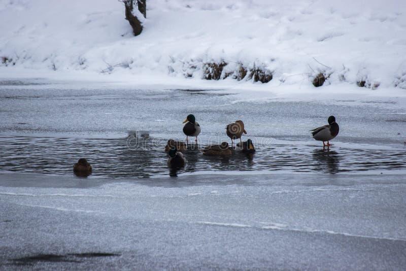 Vele eenden zoeken voedsel in het water in de winter bevroren rivier, een tijd van hongersnood voor de dieren sneeuw en ijs rond, stock fotografie