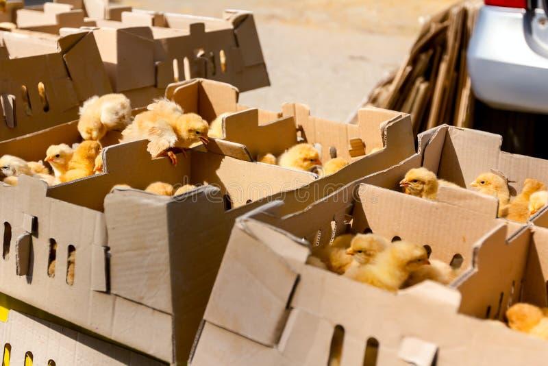 Vele gekke kleine kuikens zijn omhoog overvol in kartondoos, sprong royalty-vrije stock afbeelding