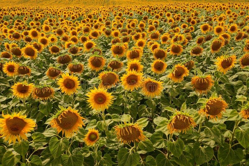 Vele gele bloeiende zonnebloemen op een groot gebied stock afbeeldingen