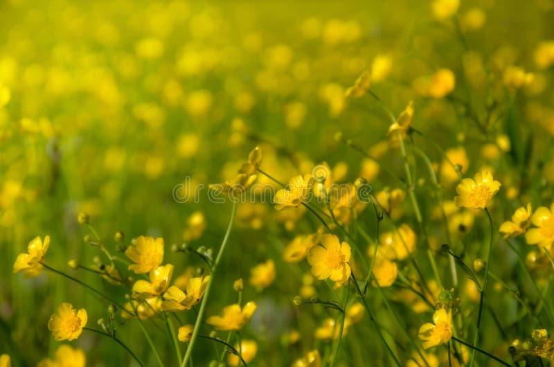 Vele gele bloemen, boterbloem in de lente bloeiende weide stock foto's