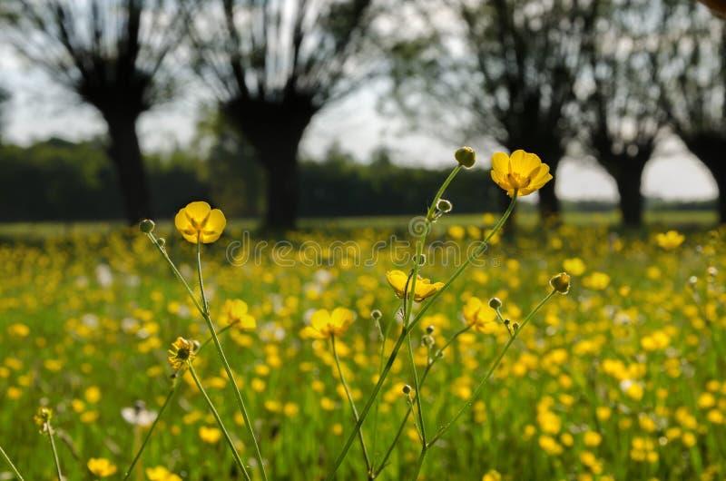Vele gele bloemen, boterbloem in de lente bloeiende weide stock afbeeldingen