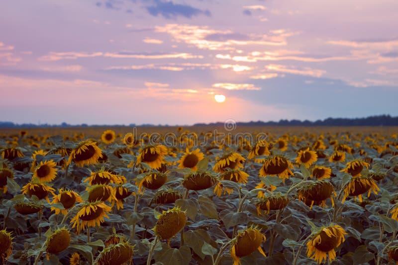 Vele gele bloemen op zonnebloemgebied tegen bewolkte zonsonderganghemel, de zon van de de zomer laat avond, duotoneachtergrond royalty-vrije stock afbeelding