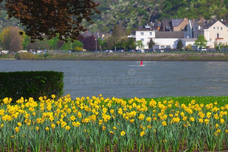 Vele gele Gele narcissen op de banken van de Rijn stock afbeelding