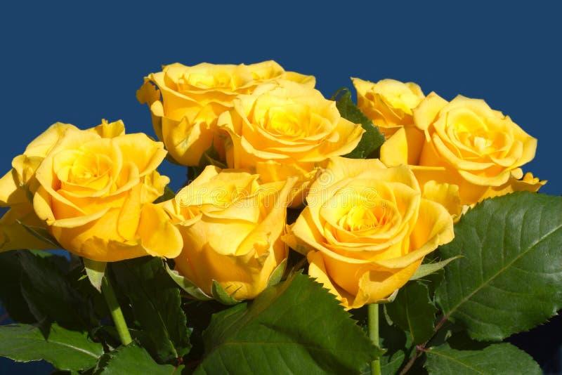 Vele gele rozen op blauwe dichte omhooggaand stock afbeelding