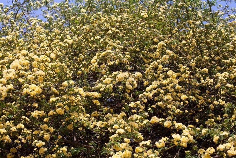Vele gele rozenbloemen, Rosa banksiae of Dame Banks' namen bloem die in de zomertuin bloeien toe royalty-vrije stock fotografie