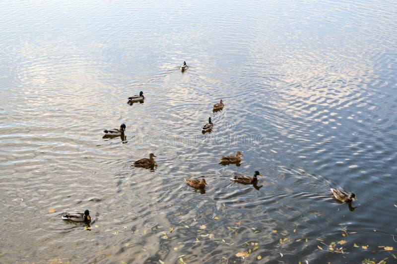 Vele grijze eenden zwemmen in het water, in een vijver, een rivier, een meer met de herfst gele bladeren royalty-vrije stock foto