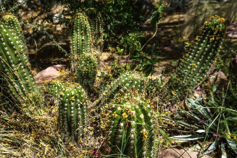 Vele groene cactustype installaties royalty-vrije stock fotografie