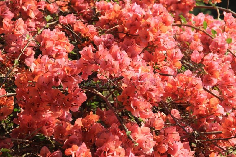 Vele grote rode bloemen op een boom vertakken zich dicht stock fotografie