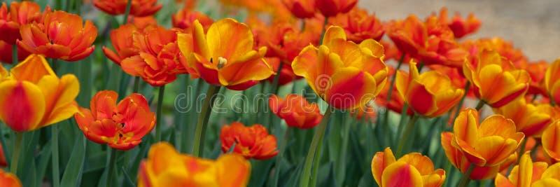 Vele heldere oranje tulpen in het Park op een Zonnige dag stock afbeeldingen