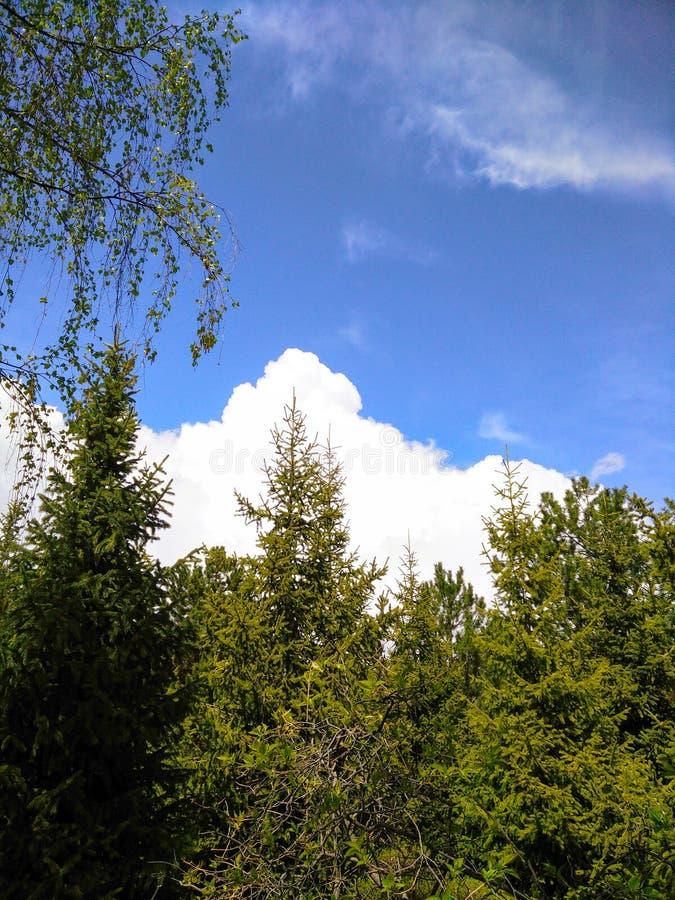 Vele hoge bomen in het park stock foto