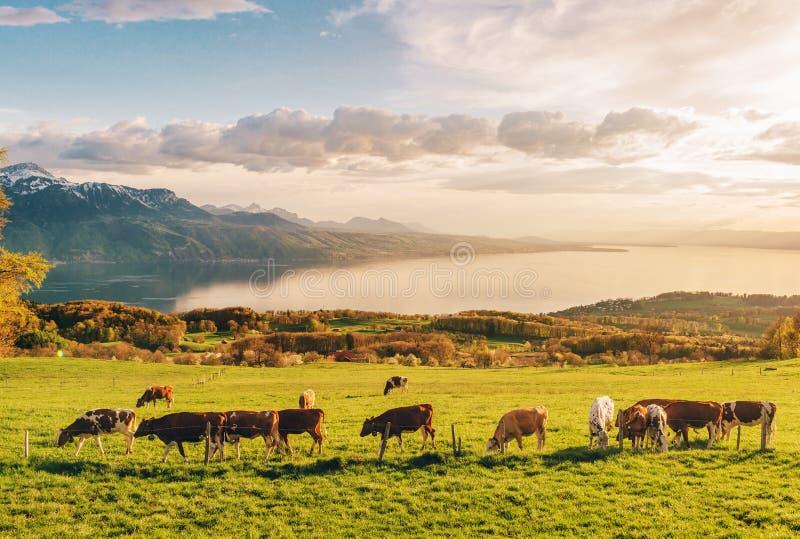 Vele jonge koeien weiden op alpien weiland met verbazende mening van Zwitsers meer Genève royalty-vrije stock afbeelding