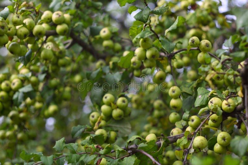 Vele kleine groene appelen stock foto's