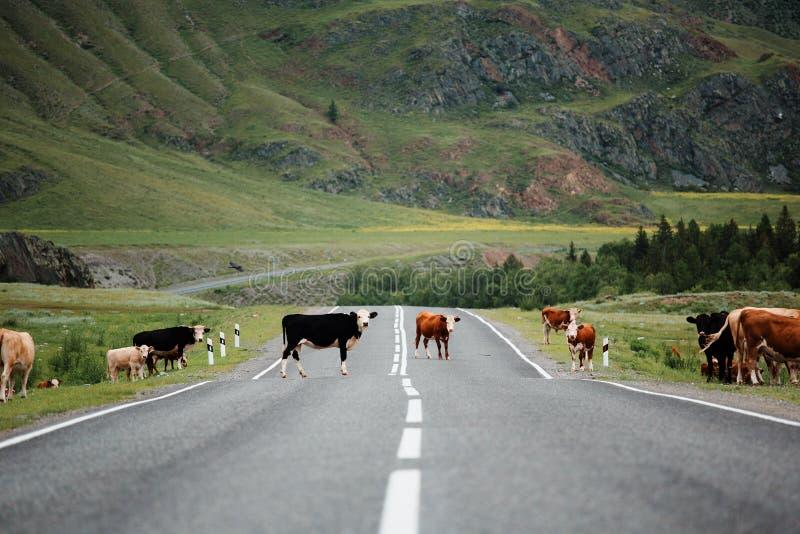 Vele koeien die landelijke weg kruisen Bergen stock afbeelding