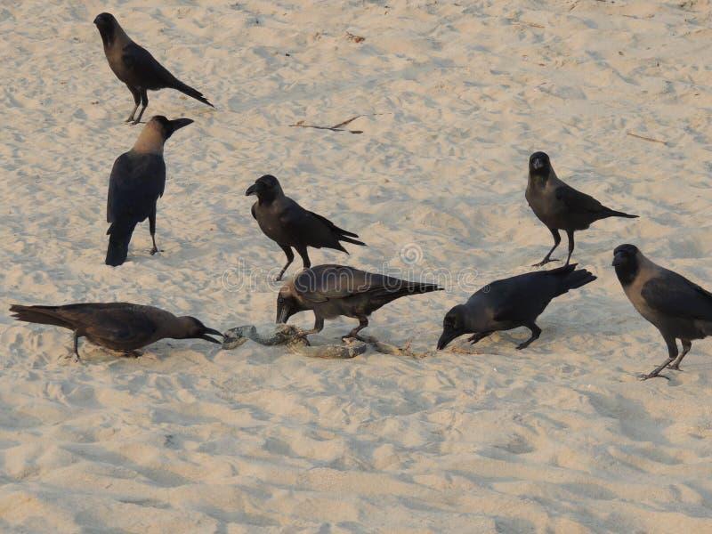 Vele kraaien eten overzeese slang op het strandwild stock afbeeldingen