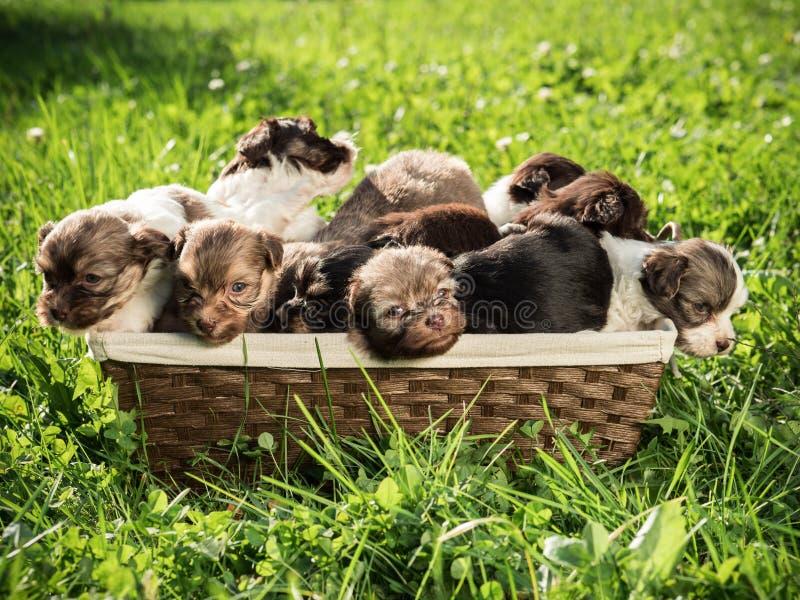 Vele leuke kleine puppy zitten in een mand die zich op het groene gras bevindt royalty-vrije stock afbeelding