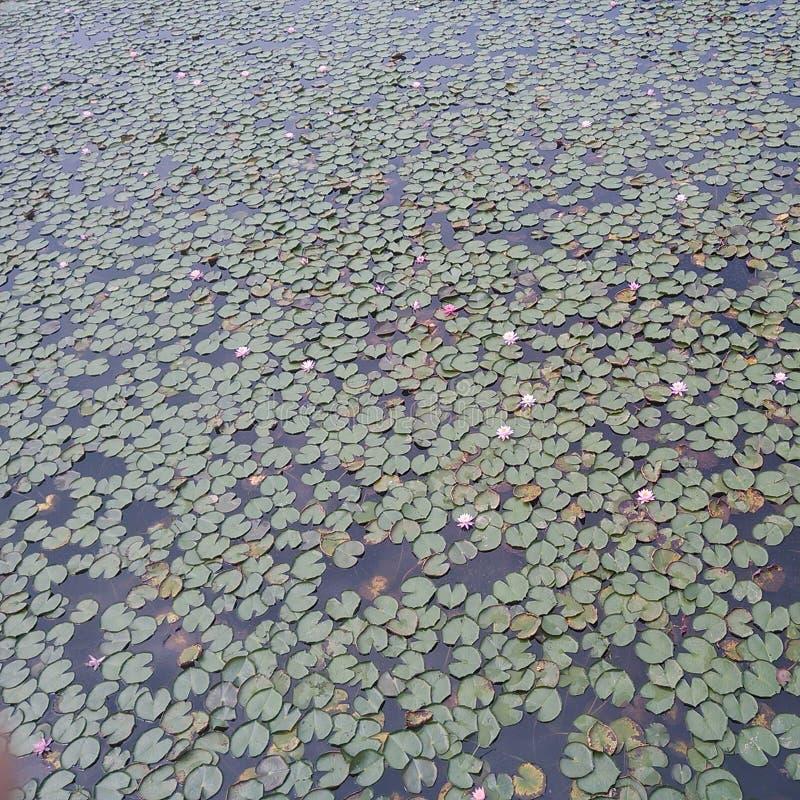 vele lotusleaves stock afbeelding