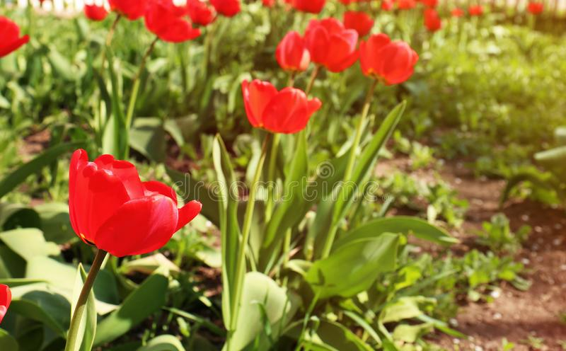 Vele mooie tulpen in tuin op zonnige dag De bloeiende Bloemen van de Lente stock foto's