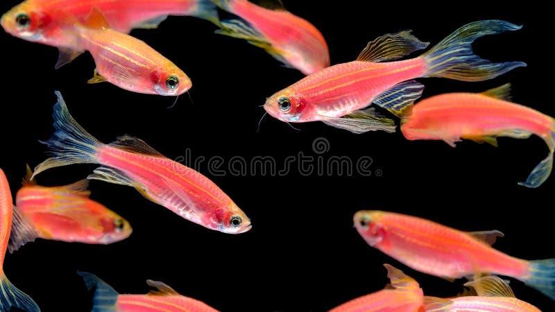 Vele oranje gestreepte vissen leven samen in een heldere, vrolijke swimm royalty-vrije stock afbeeldingen