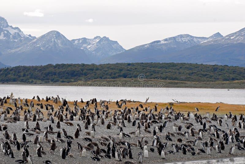 Vele pinguïnen dichtbij Ushuaia. royalty-vrije stock foto's