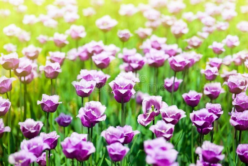 Vele purpere tulpenbloemen op vage zonnige achtergrond dicht omhoog, violette tulpen op bloeiend de zomergebied, de lentebloemen  royalty-vrije stock afbeelding