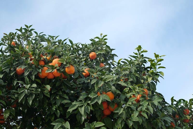 Vele rijpe smakelijke sinaasappelen groeit op oranje boomtakken royalty-vrije stock afbeelding