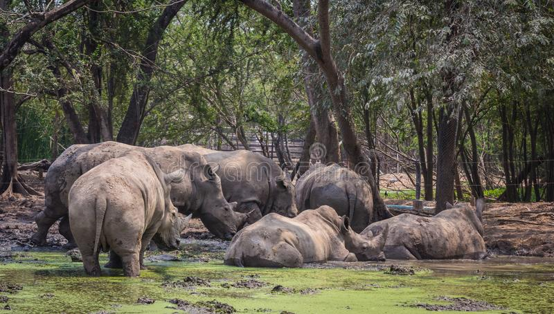Vele rinoceros in de dierentuin stock foto