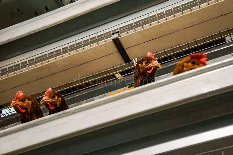 Vele rode kippen bij het gevogeltelandbouwbedrijf, eierproductie royalty-vrije stock foto's