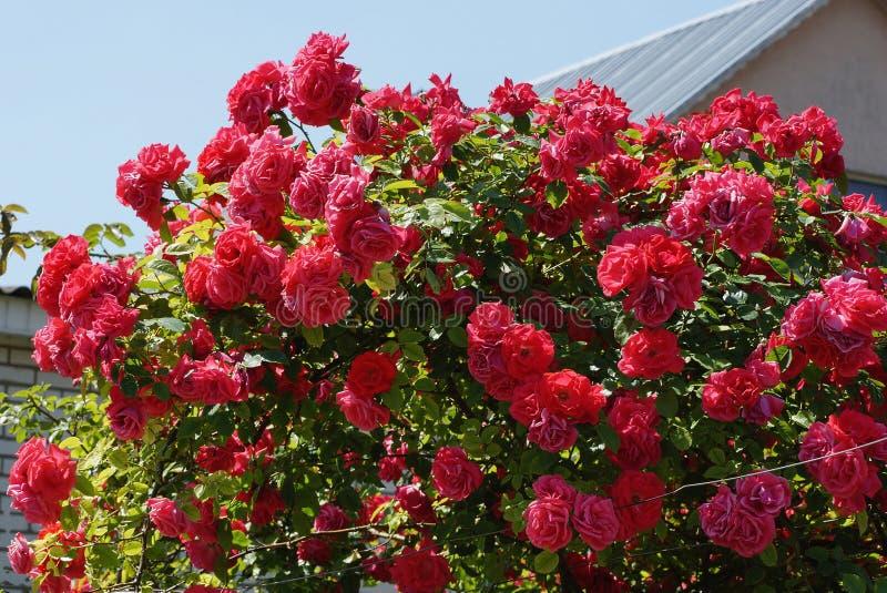 Vele rode roze knoppen op een struik met groene bladeren royalty-vrije stock afbeeldingen
