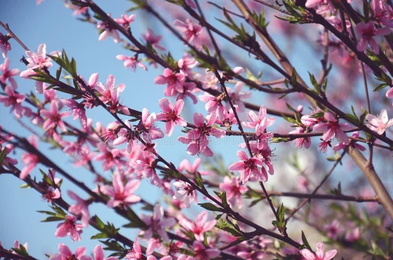 Vele roze bloemen van perzik stock afbeelding