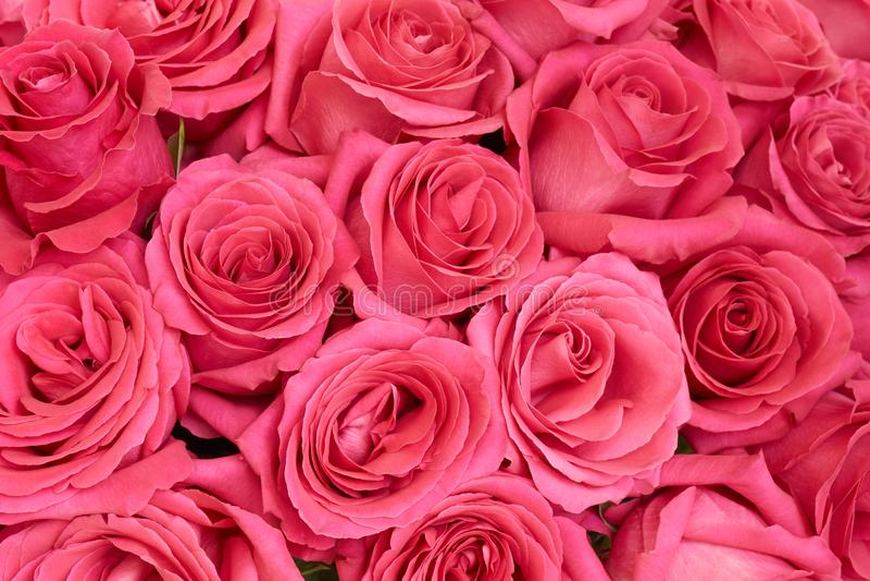 Vele roze rozen royalty-vrije stock afbeeldingen