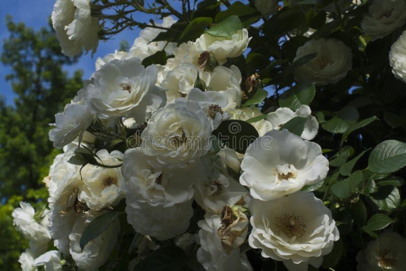 Vele rozen op de struik in de blauwe hemel royalty-vrije stock foto