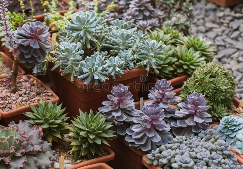 Vele species van succulents in bloempotten stock fotografie