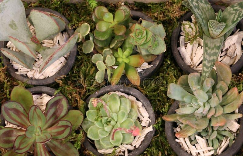 Vele succulents voor verkoop in bloemist winkelen stock afbeeldingen