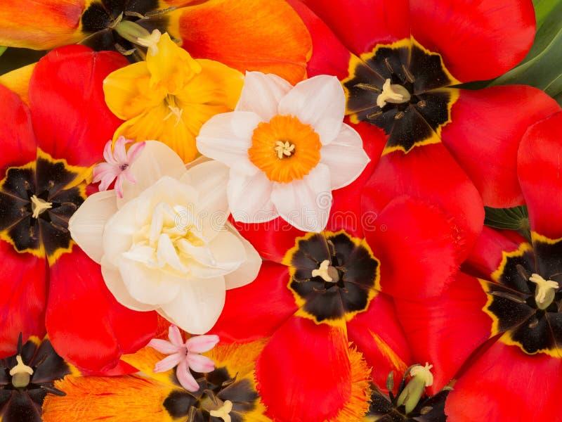 Vele tulpen en gele narcissen stock afbeelding