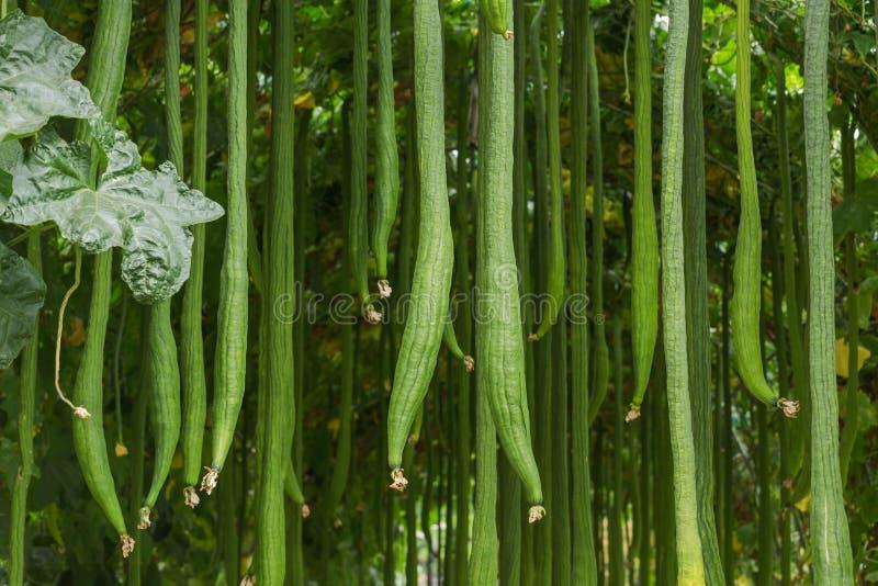 Vele vlotte luffa of lange cylindrica L M van de luffaluffa Roem Het hangen op boom royalty-vrije stock foto