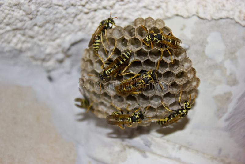 Vele wespen op de bijenkorf stock fotografie