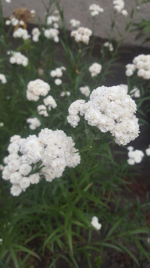 Vele witte bloemen stock foto's