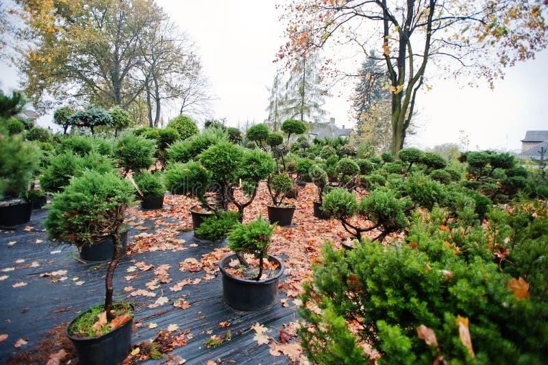 Vele zwarte potten met grond en zaailingen van naaldbomen en stock afbeeldingen